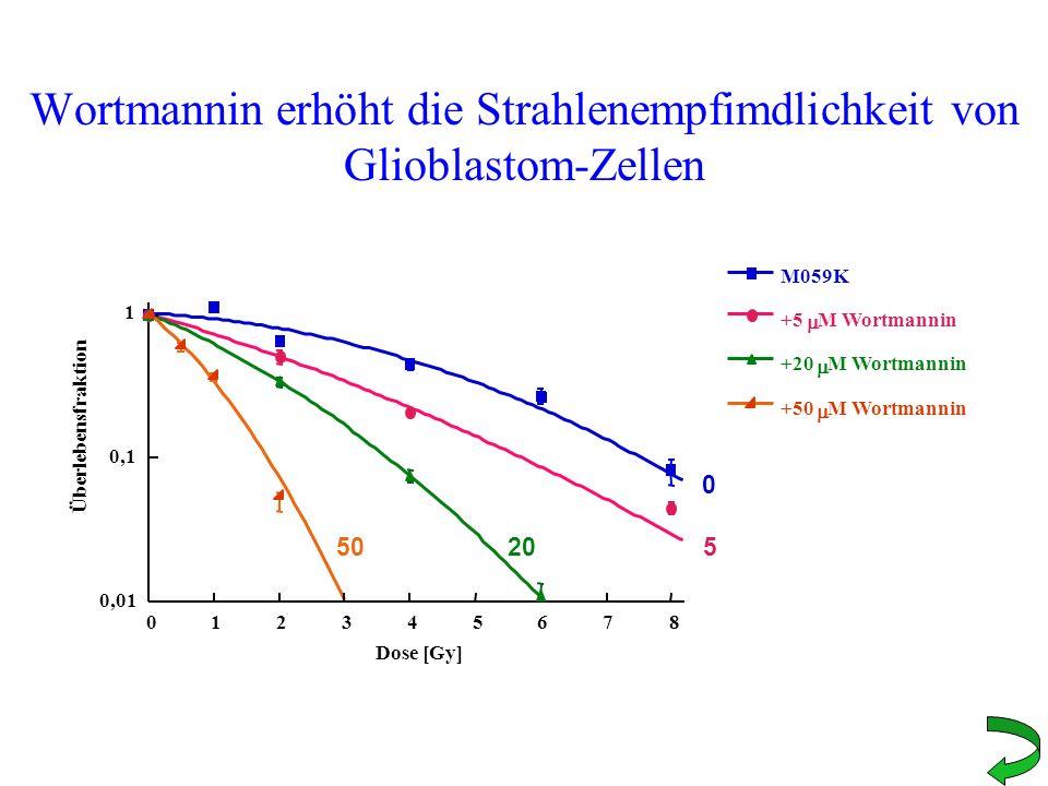Wortmannin erhöht die Strahlenempfimdlichkeit von Glioblastom-Zellen 0,01 0,1 1 012345678 M059K +5 M Wortmannin +20 M Wortmannin +50 M Wortmannin Über