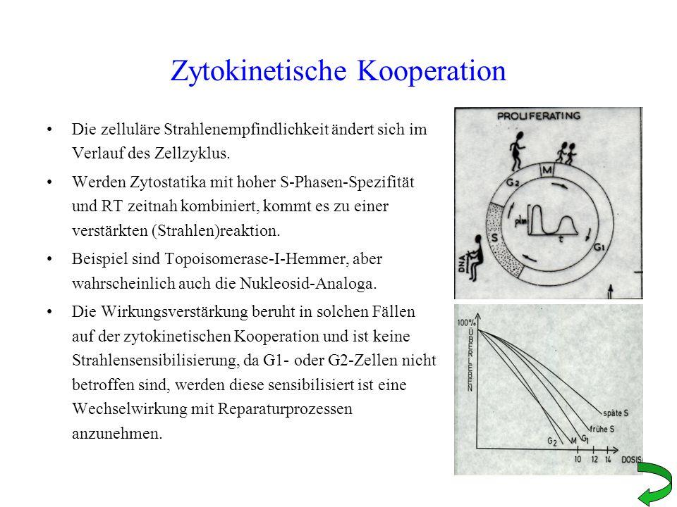 Zytokinetische Kooperation Die zelluläre Strahlenempfindlichkeit ändert sich im Verlauf des Zellzyklus. Werden Zytostatika mit hoher S-Phasen-Spezifit