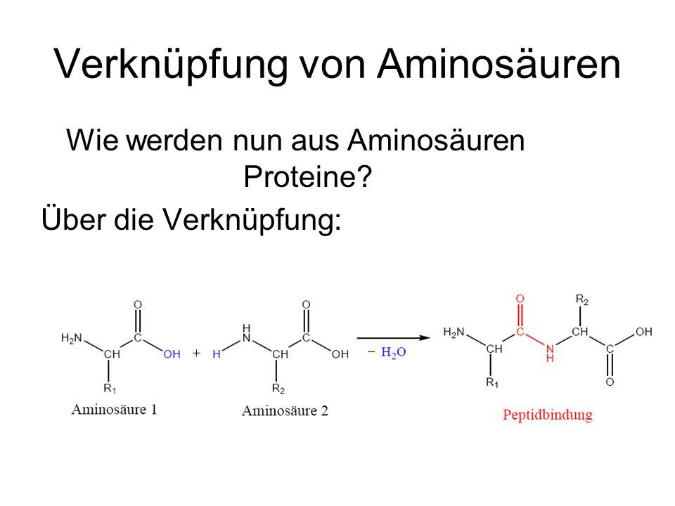 Verknüpfung von Aminosäuren Wie werden nun aus Aminosäuren Proteine? Über die Verknüpfung: