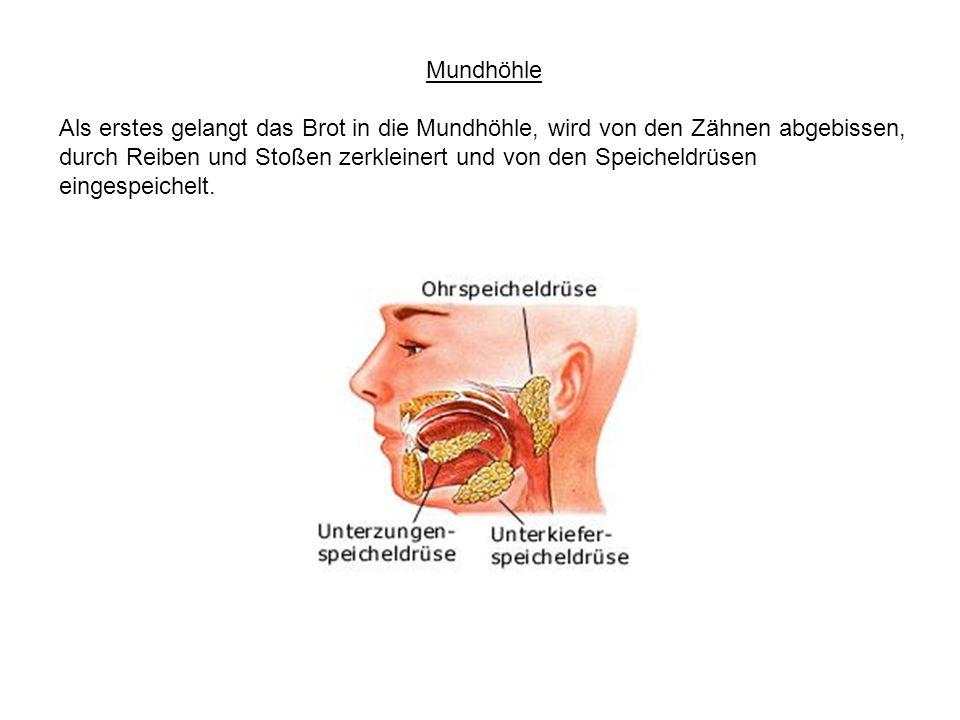 Mundhöhle Als erstes gelangt das Brot in die Mundhöhle, wird von den Zähnen abgebissen, durch Reiben und Stoßen zerkleinert und von den Speicheldrüsen