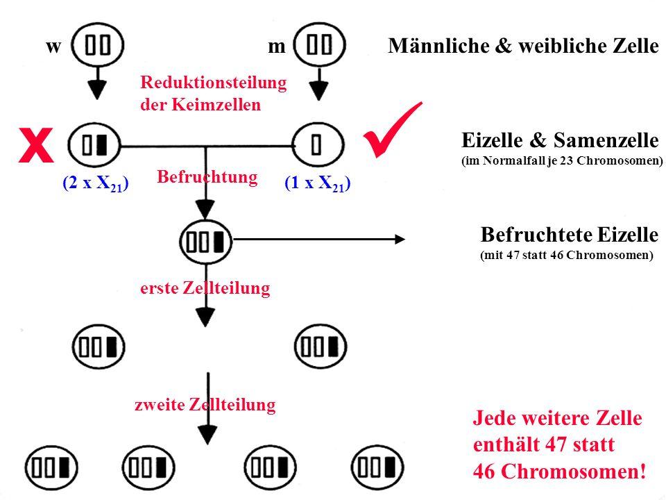 mw Reduktionsteilung der Keimzellen Befruchtung richtig x Männliche & weibliche Zelle Eizelle & Samenzelle (im Normalfall je 23 Chromosomen) erste Zel