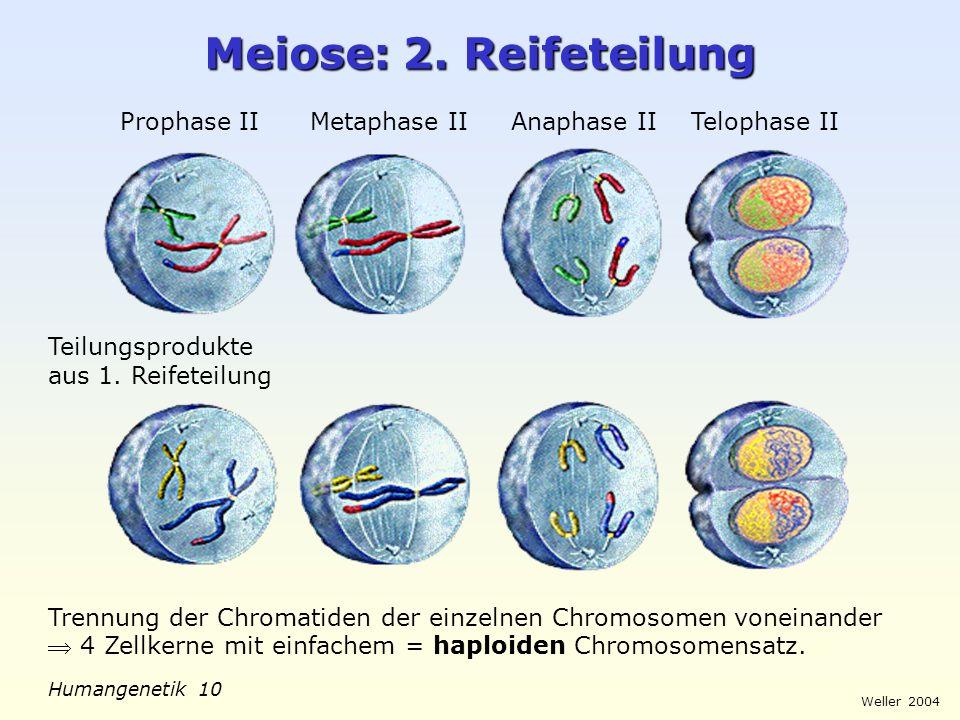 Weller 2004 Humangenetik 10 Meiose: 2. Reifeteilung Prophase II Metaphase II Anaphase II Telophase II Trennung der Chromatiden der einzelnen Chromosom