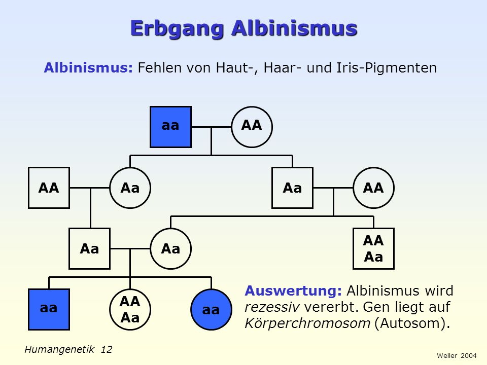 Weller 2004 Humangenetik 12 Erbgang Albinismus Albinismus: Fehlen von Haut-, Haar- und Iris-Pigmenten aaAA Aa AA Aa aa AA Aa aa Auswertung: Albinismus