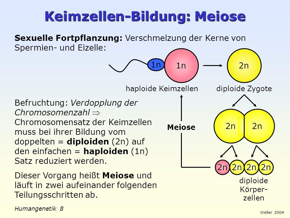 Weller 2004 Humangenetik 8 Keimzellen-Bildung: Meiose 1n Sexuelle Fortpflanzung: Verschmelzung der Kerne von Spermien- und Eizelle: 1n 2n diploide Kör