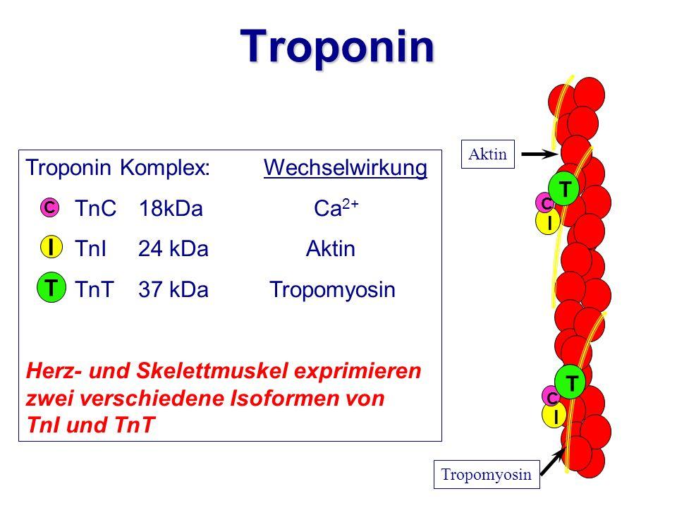 Troponin Komplex: Wechselwirkung TnC18kDa Ca 2+ TnI24 kDa Aktin TnT37 kDa Tropomyosin Herz- und Skelettmuskel exprimieren zwei verschiedene Isoformen