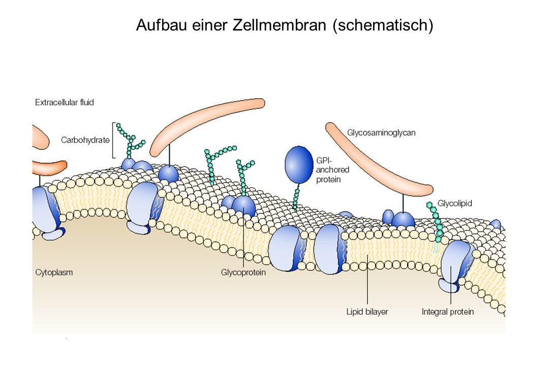 Aufbau einer Zellmembran (schematisch)