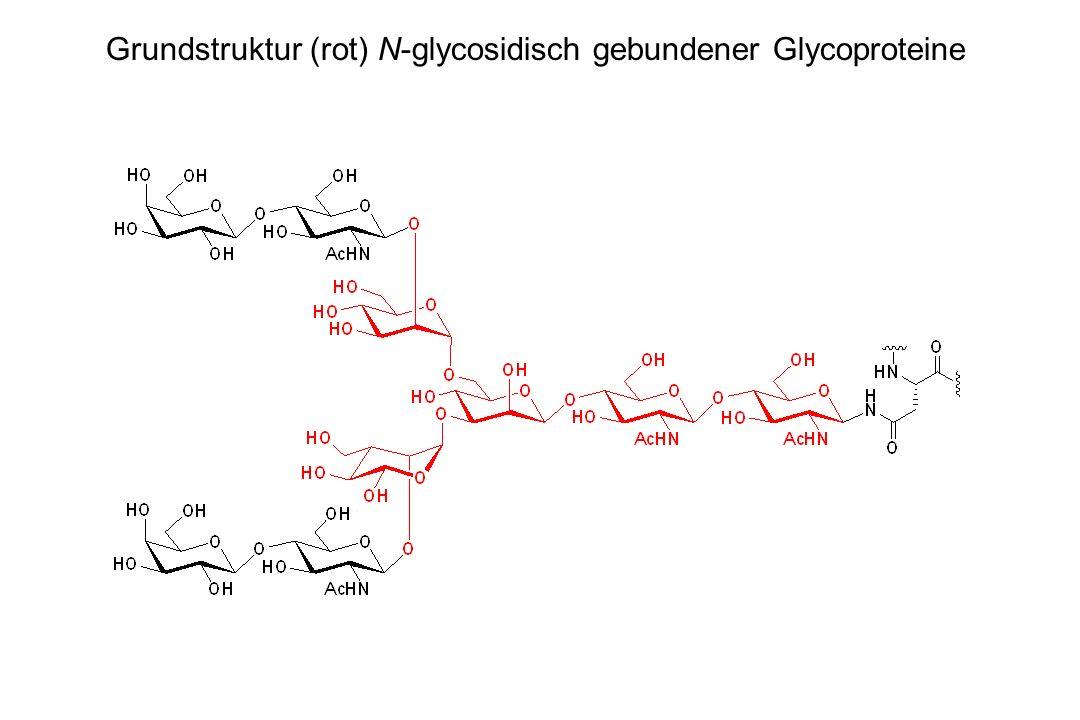Grundstruktur (rot) N-glycosidisch gebundener Glycoproteine