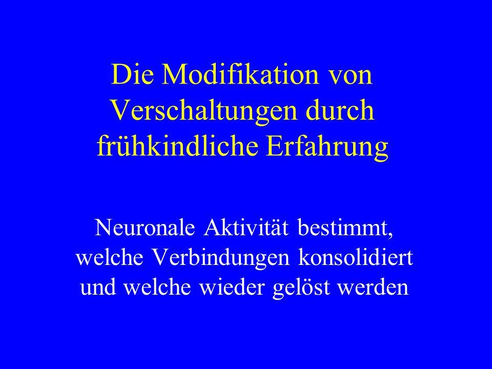 Die Modifikation von Verschaltungen durch frühkindliche Erfahrung Neuronale Aktivität bestimmt, welche Verbindungen konsolidiert und welche wieder gel