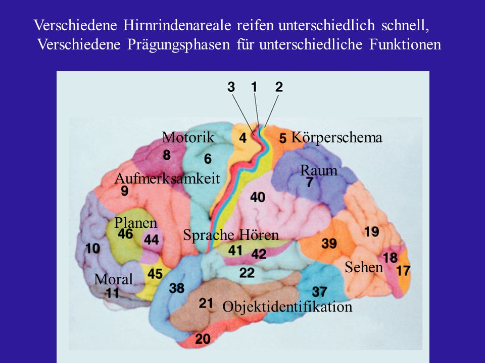 Verschiedene Hirnrindenareale reifen unterschiedlich schnell, Verschiedene Prägungsphasen für unterschiedliche Funktionen Sehen Objektidentifikation S