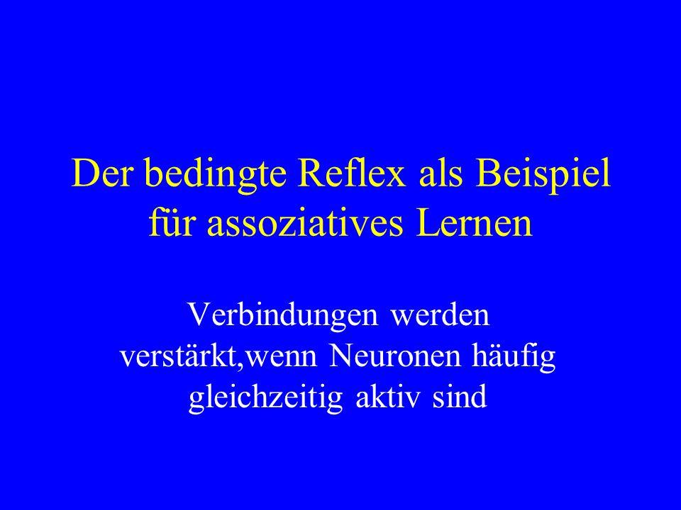 Der bedingte Reflex als Beispiel für assoziatives Lernen Verbindungen werden verstärkt,wenn Neuronen häufig gleichzeitig aktiv sind