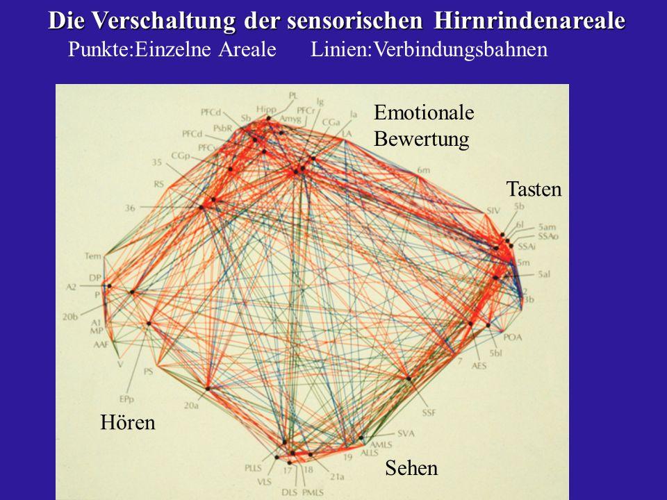 Die Verschaltung der sensorischen Hirnrindenareale Die Verschaltung der sensorischen Hirnrindenareale Punkte:Einzelne Areale Linien:Verbindungsbahnen