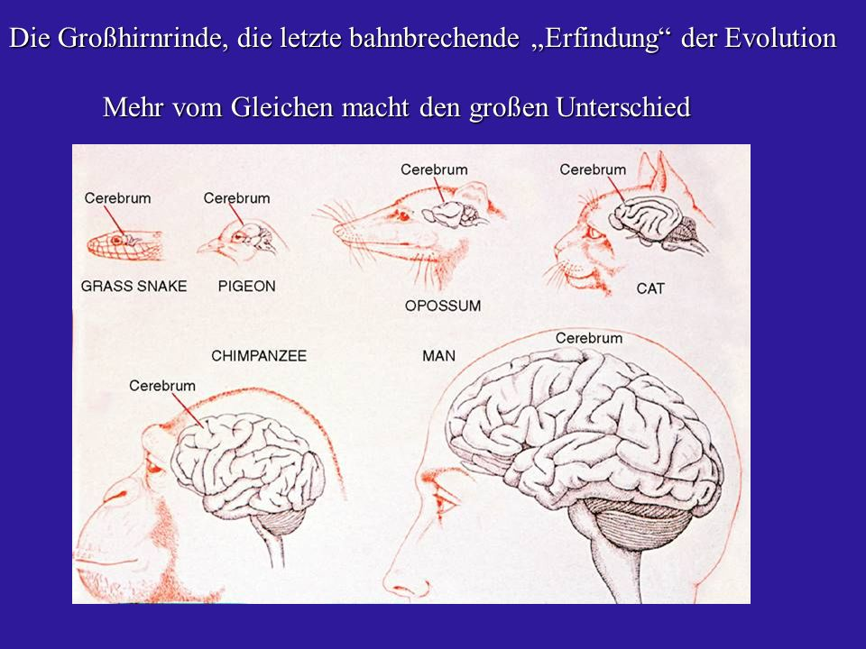 Die Großhirnrinde, die letzte bahnbrechende Erfindung der Evolution Mehr vom Gleichen macht den großen Unterschied Mehr vom Gleichen macht den großen