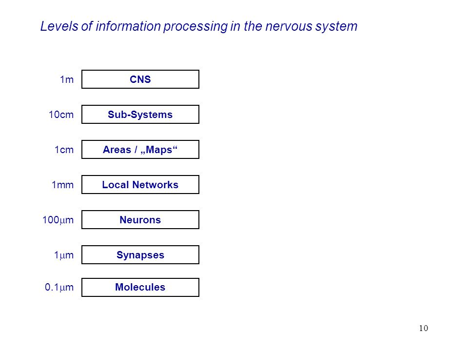 10 Levels of information processing in the nervous system Molecules 0.1 m Synapses 1 m Neurons 100 m Local Networks 1mm Areas / Maps 1cm Sub-Systems 10cm CNS 1m