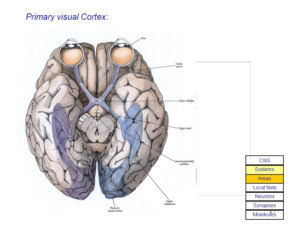 17 Primary visual Cortex: Molekules Synapses Neurons Local Nets Areas Systems CNS
