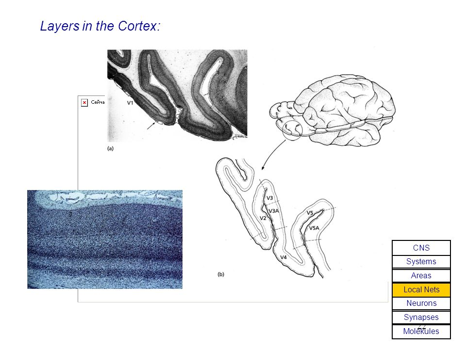22 Layers in the Cortex: Molekules Synapses Neurons Local Nets Areas Systems CNS