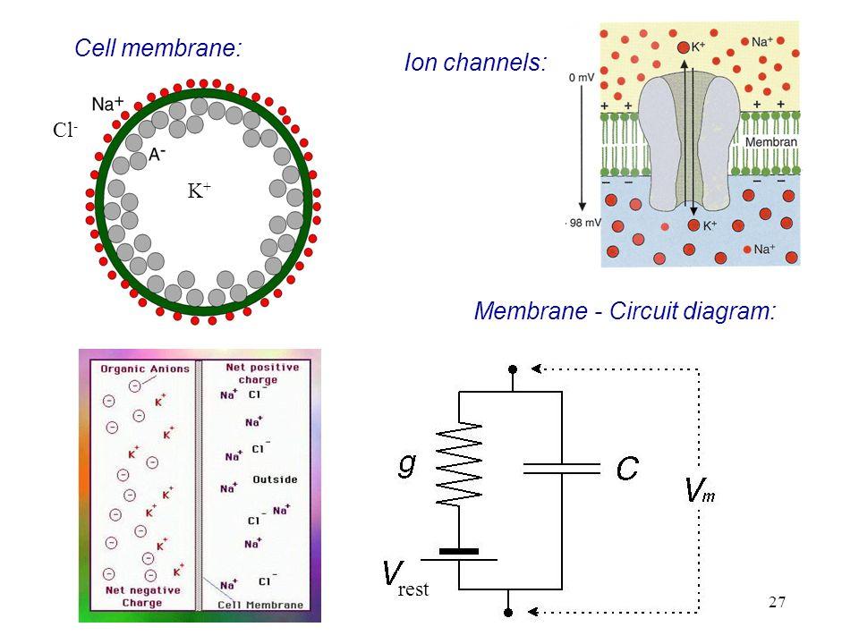 27 Cell membrane: K+K+ Cl - Ion channels: Membrane - Circuit diagram: rest