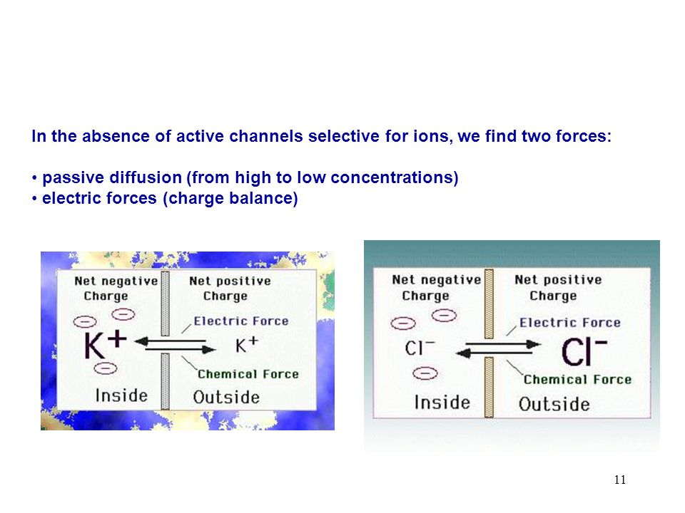 11 In the absence of active channels selective for ions, we find two forces: passive diffusion (from high to low concentrations) electric forces (char