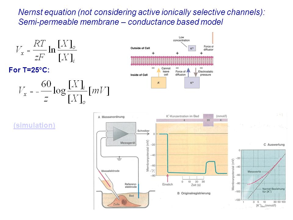 15 Nernst equation (not considering active ionically selective channels): Semi-permeable membrane – conductance based model For T=25°C: (simulation)