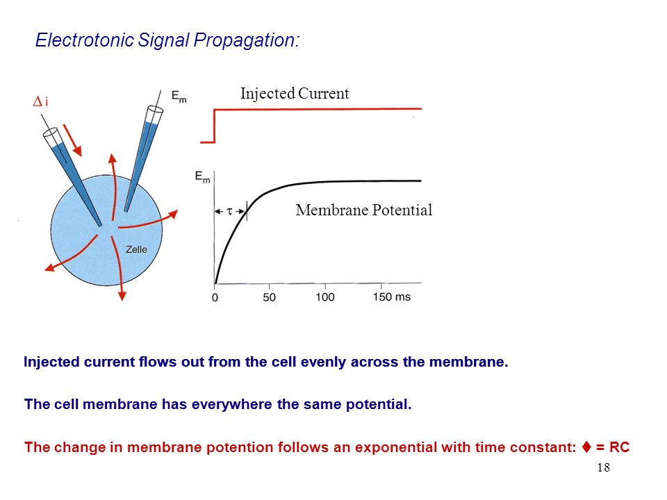 18 Electrotonic Signal Propagation: Injected current flows out from the cell evenly across the membrane. Injected Current Membrane Potential Injected