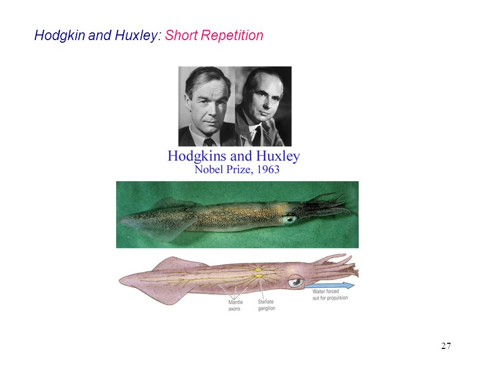 27 Hodgkin and Huxley: Short Repetition