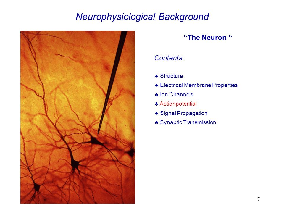 7 The Neuron Contents: Structure Electrical Membrane Properties Ion Channels Actionpotential Signal Propagation Synaptic Transmission Neurophysiologic