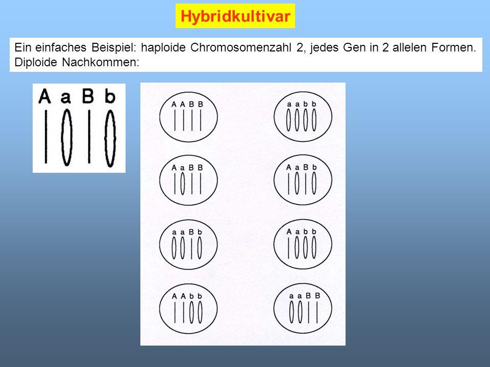 Hybridkultivar Ein einfaches Beispiel: haploide Chromosomenzahl 2, jedes Gen in 2 allelen Formen. Diploide Nachkommen: