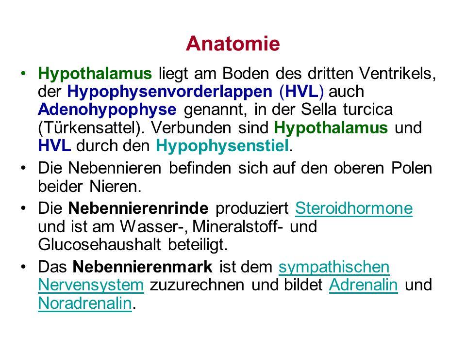 Anatomie Hypothalamus liegt am Boden des dritten Ventrikels, der Hypophysenvorderlappen (HVL) auch Adenohypophyse genannt, in der Sella turcica (Türke