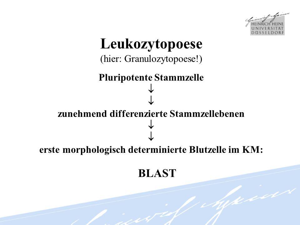 Leukozytopoese (hier: Granulozytopoese!) Pluripotente Stammzelle zunehmend differenzierte Stammzellebenen erste morphologisch determinierte Blutzelle