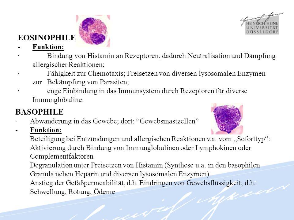 Monozyten -Pseudogröße im Ausstrich (Ausbreiten an Objektträgeroberfläche) -keine KM-Reserve -Marginalpool an Gefäßinnenwänden >> Zirkulationspool Abwanderung ins Gewebe/ Ansiedelung dort als Makrophage -Funktion: Phagozytose von Bakterien, Viren, Parasiten, Tumorzellen u.a.; Synthese von diversen Zytokinen (u.a.