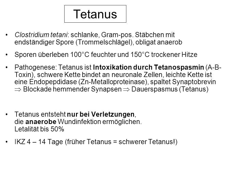 Tetanus Clostridium tetani: schlanke, Gram-pos. Stäbchen mit endständiger Spore (Trommelschlägel), obligat anaerob Sporen überleben 100°C feuchter und