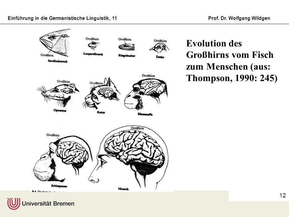 Einführung in die Germanistische Linguistik, 11Prof. Dr. Wolfgang Wildgen 12 Evolution des Großhirns vom Fisch zum Menschen (aus: Thompson, 1990: 245)
