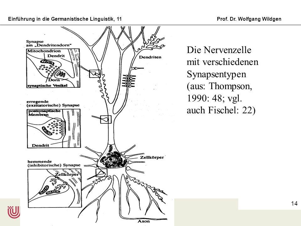 Einführung in die Germanistische Linguistik, 11Prof. Dr. Wolfgang Wildgen 14 Die Nervenzelle mit verschiedenen Synapsentypen (aus: Thompson, 1990: 48;