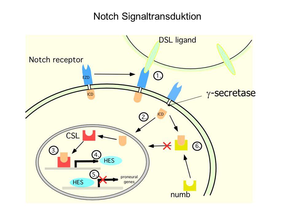 Notch Signaltransduktion -secretase