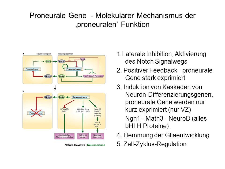 1.Laterale Inhibition, Aktivierung des Notch Signalwegs 2. Positiver Feedback - proneurale Gene stark exprimiert 3. Induktion von Kaskaden von Neuron-