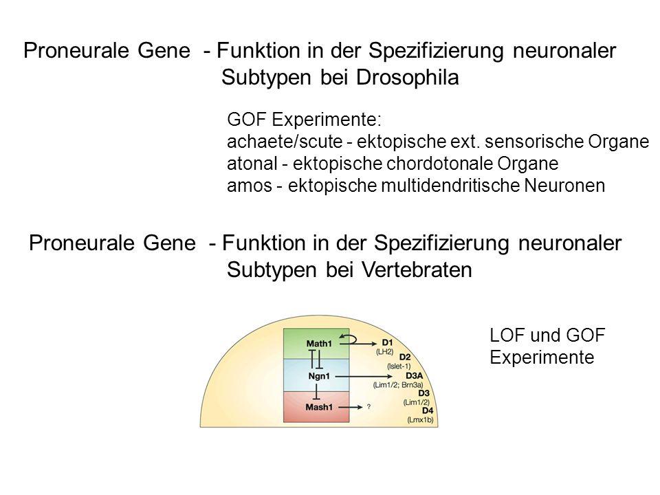 Proneurale Gene - Funktion in der Spezifizierung neuronaler Subtypen bei Drosophila Proneurale Gene - Funktion in der Spezifizierung neuronaler Subtyp