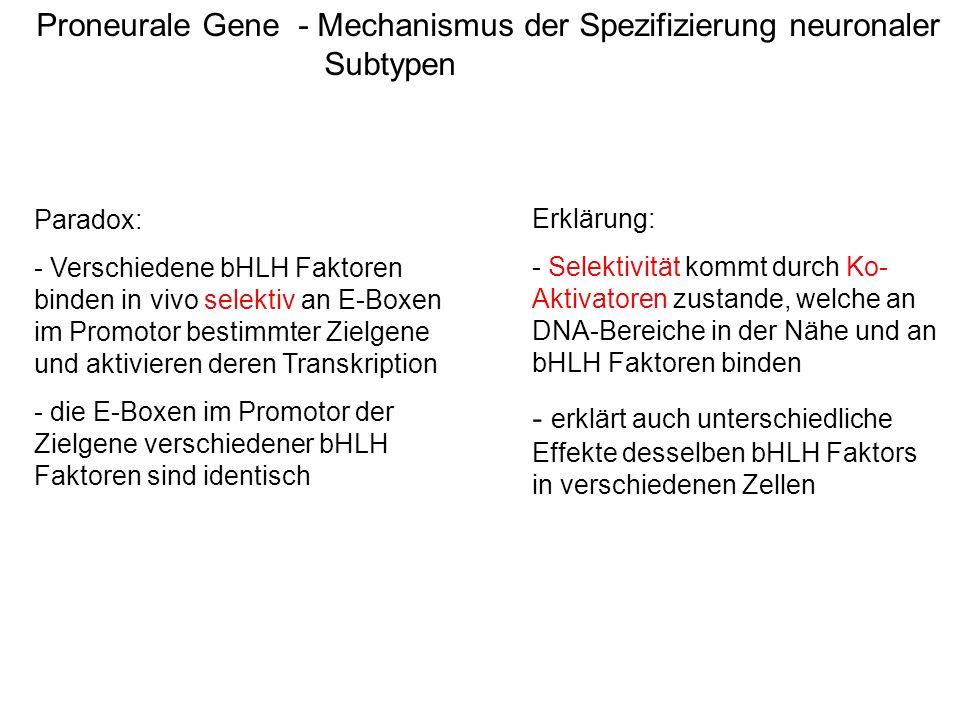 Proneurale Gene - Mechanismus der Spezifizierung neuronaler Subtypen Erklärung: - Selektivität kommt durch Ko- Aktivatoren zustande, welche an DNA-Ber