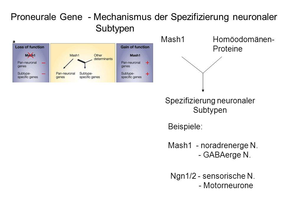 Proneurale Gene - Mechanismus der Spezifizierung neuronaler Subtypen Beispiele: Mash1 - noradrenerge N. - GABAerge N. Ngn1/2 - sensorische N. - Motorn