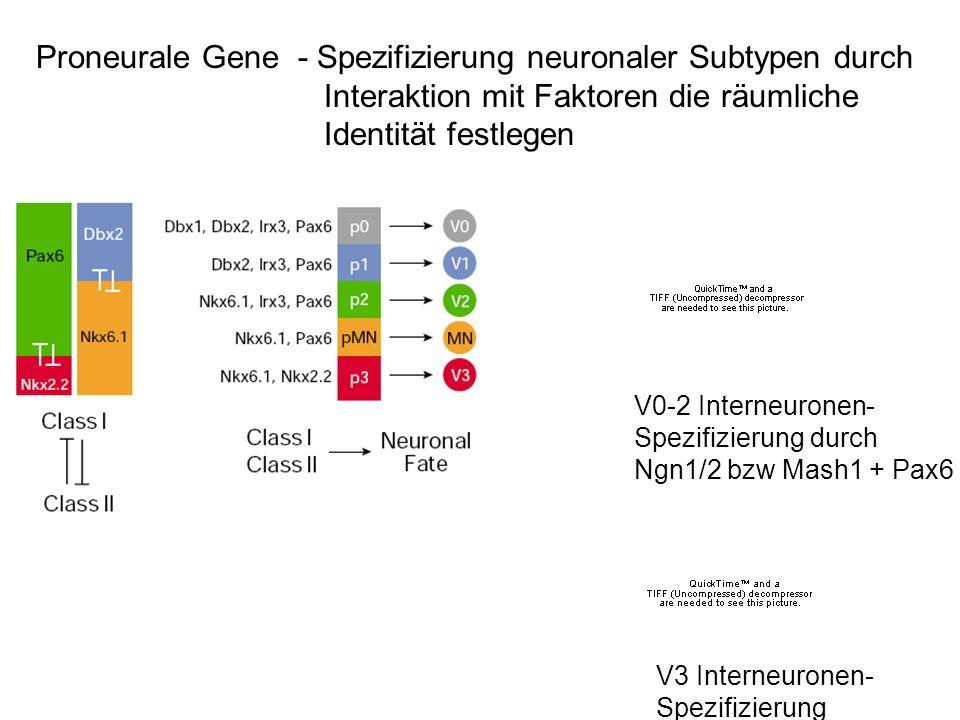 Proneurale Gene - Spezifizierung neuronaler Subtypen durch Interaktion mit Faktoren die räumliche Identität festlegen V0-2 Interneuronen- Spezifizieru