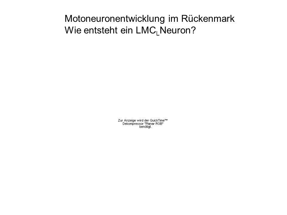 Motoneuronentwicklung im Rückenmark Wie entsteht ein LMC L Neuron?