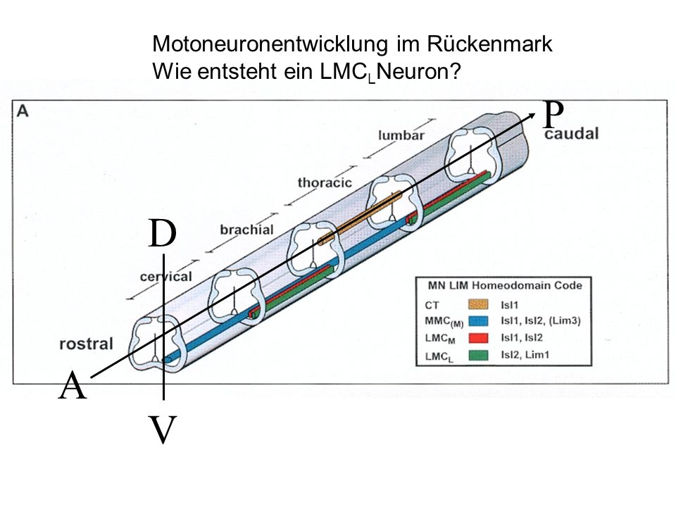 A P D V Motoneuronentwicklung im Rückenmark Wie entsteht ein LMC L Neuron?