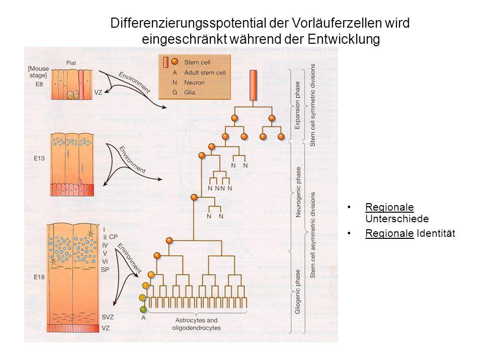 Regionale Unterschiede Regionale Identität Differenzierungsspotential der Vorläuferzellen wird eingeschränkt während der Entwicklung