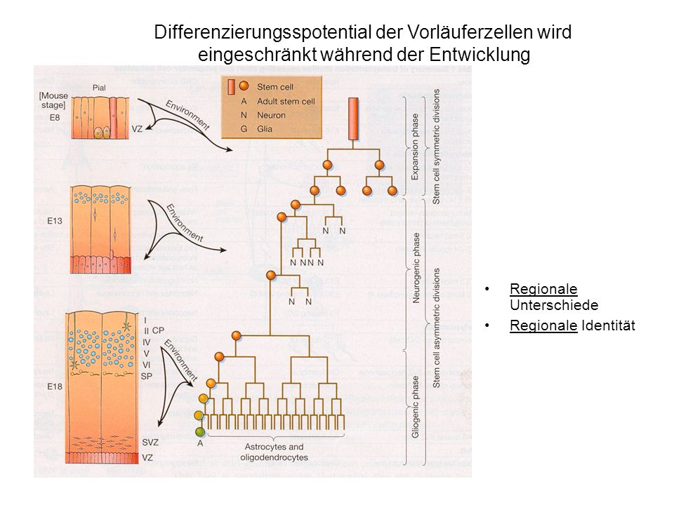 Proneurale Gene - Funktion in der Spezifizierung neuronaler Subtypen bei Drosophila Proneurale Gene - Funktion in der Spezifizierung neuronaler Subtypen bei Vertebraten LOF und GOF Experimente GOF Experimente: achaete/scute - ektopische ext.
