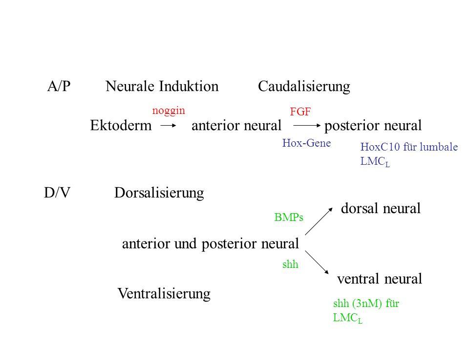 A/P Neurale Induktion Caudalisierung Ektoderm anterior neuralposterior neural noggin FGF Hox-Gene D/V Dorsalisierung anterior und posterior neural shh