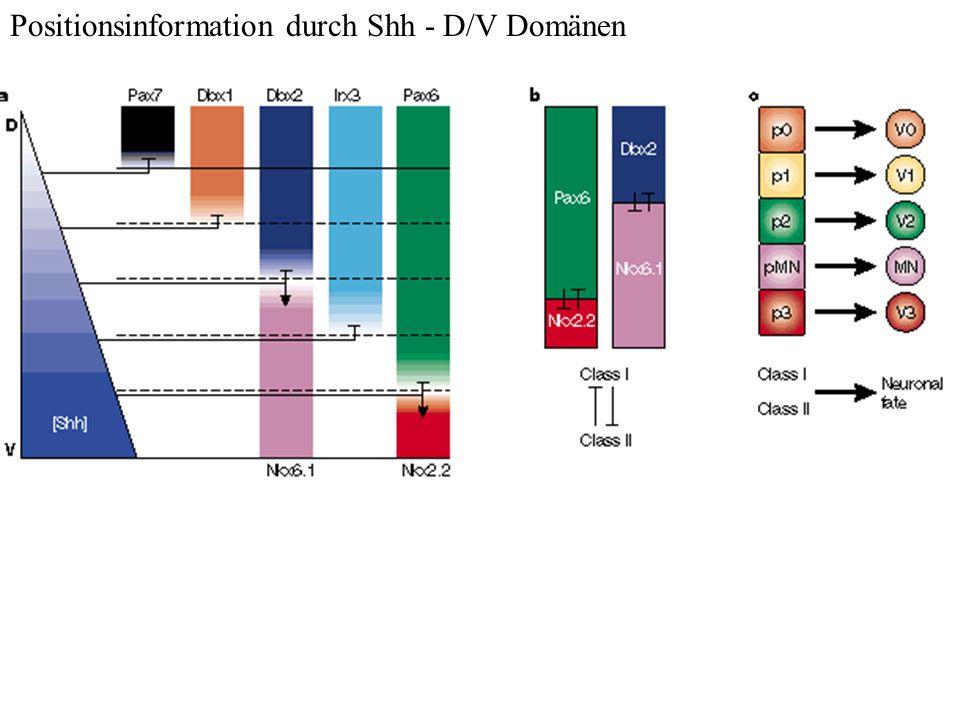 Positionsinformation durch Shh - D/V Domänen