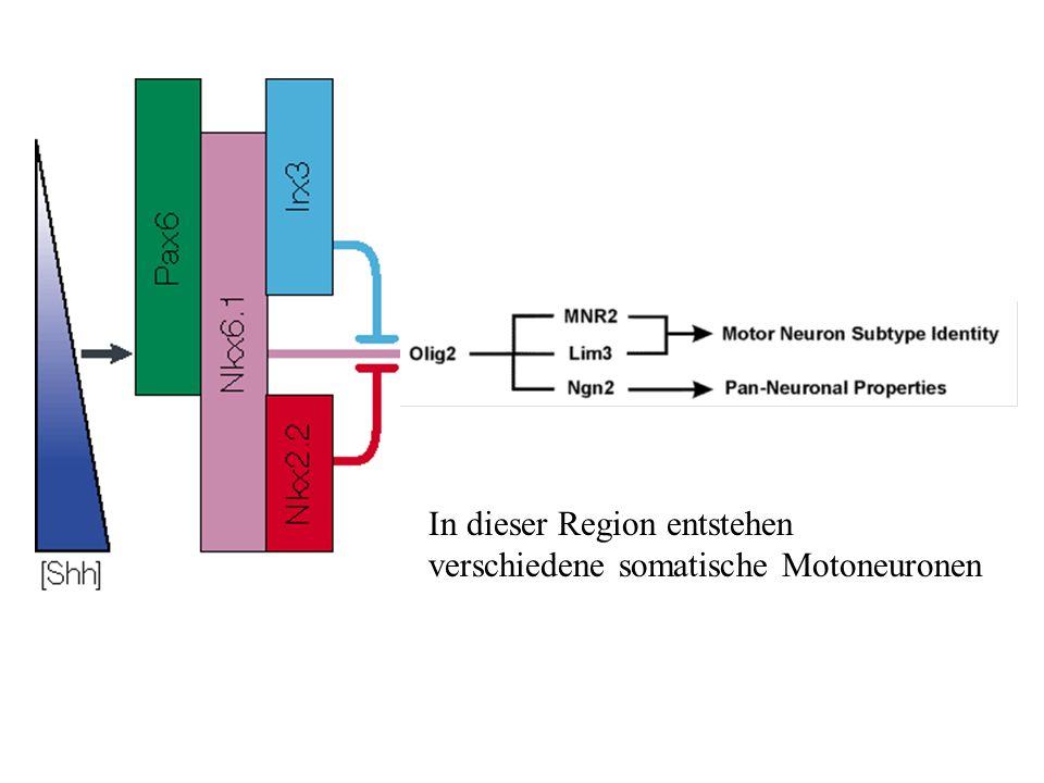 In dieser Region entstehen verschiedene somatische Motoneuronen