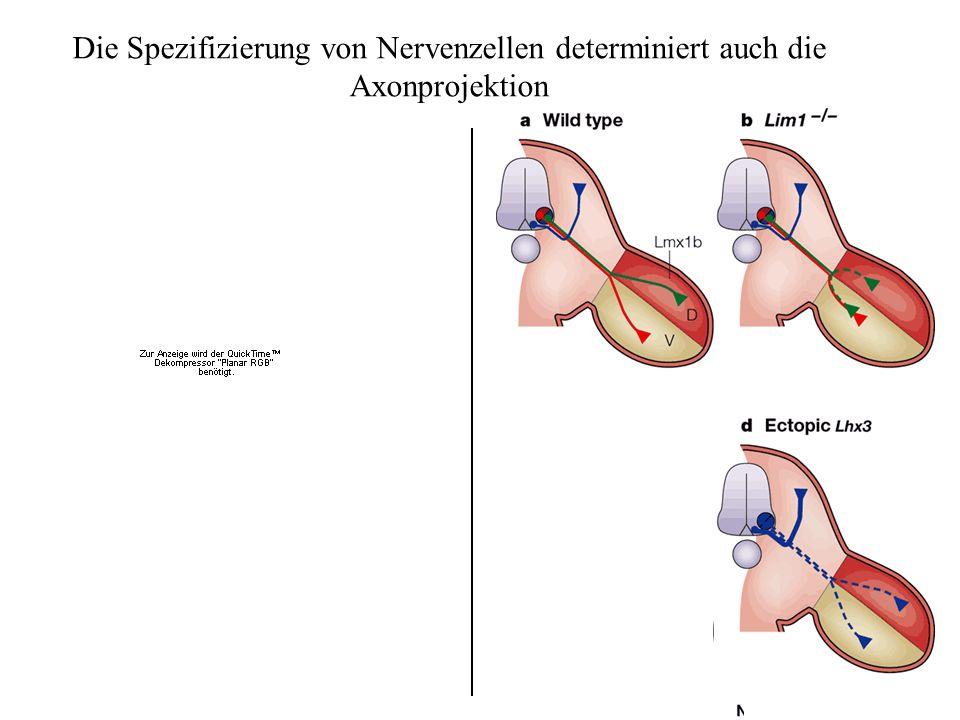 Die Spezifizierung von Nervenzellen determiniert auch die Axonprojektion