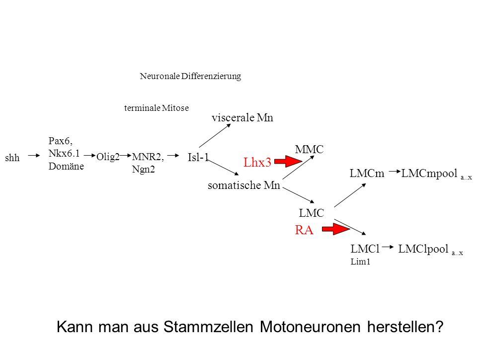 shh Pax6, Nkx6.1 Domäne MNR2, Ngn2 Isl-1 Neuronale Differenzierung LMC MMC viscerale Mn somatische Mn LMCl Lim1 LMCm LMClpool a..x LMCmpool a..x RA Lh