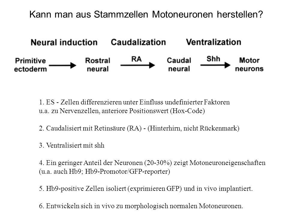 Kann man aus Stammzellen Motoneuronen herstellen? 1. ES - Zellen differenzieren unter Einfluss undefinierter Faktoren u.a. zu Nervenzellen, anteriore