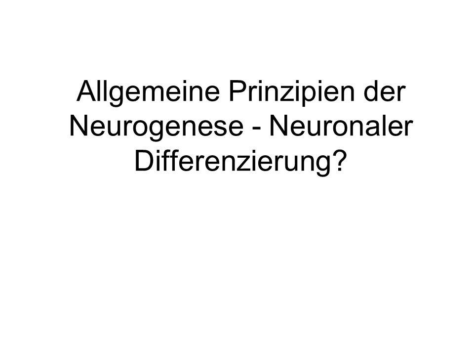 Neurale Kompetenz: Proneurale Gene achaete, scute, atonal Selektion neuraler Vorläufer: Neurogene Gene notch, delta Differenzierung neuraler Vorläufer Proliferation neuraler Vorläufer Terminale Differenzierung