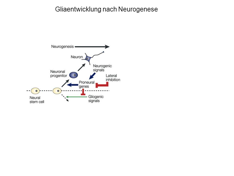 Gliaentwicklung nach Neurogenese